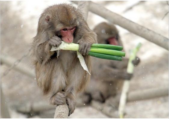 猴子吃大葱.png