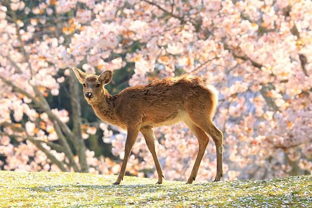 奈良鹿.jpg